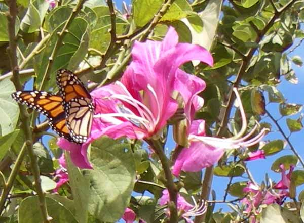 Monarch along the way